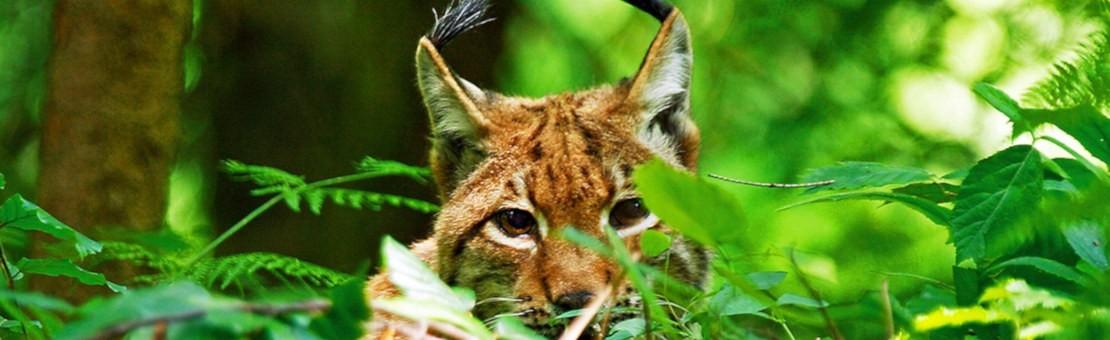 Lynx lynx - lynx